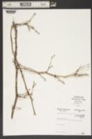 Daphniphyllum macropodum image