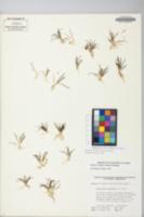 Sagittaria subulata image