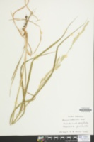 Bromus catharticus image