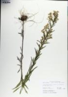 Conyza canadensis var. canadensis image