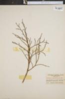 Image of Vaccinium pennsylvanicum