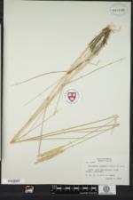 Thinopyrum pycnanthum image