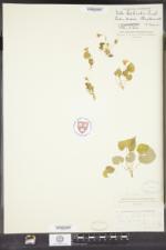 Viola selkirkii image