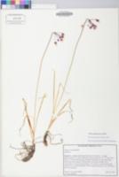 Allium allegheniense image