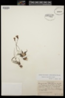 Pinguicula heterophylla image