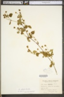 Rubus steelei image