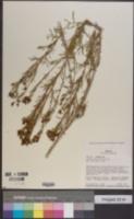 Image of Tagetes multiflora