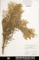 Baccharis neglecta image