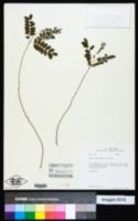 Acacia muricata image