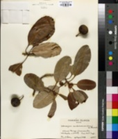 Image of Pouteria sandwicensis