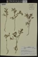 Crocanthemum georgianum image