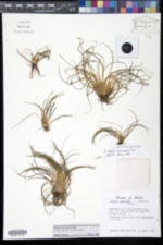 Image of Isoetes macrospora