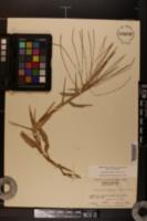 Gymnopogon ambiguus image