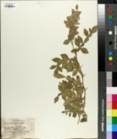 Image of Feronia limonia