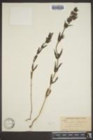 Rhinanthus minor image