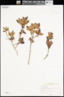 Berberis claireae image
