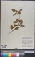 Image of Acalypha fruticosa