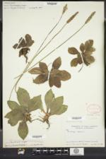 Plantago media image