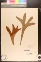 Image of Platycerium hillii