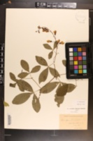 Thermopsis fraxinifolia image