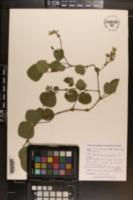 Desmodium rotundifolium image