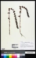 Dracocephalum thymiflorum image