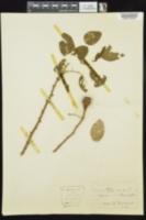 Image of Rosa pomifera