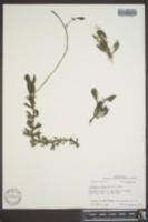 Image of Limnophila indica