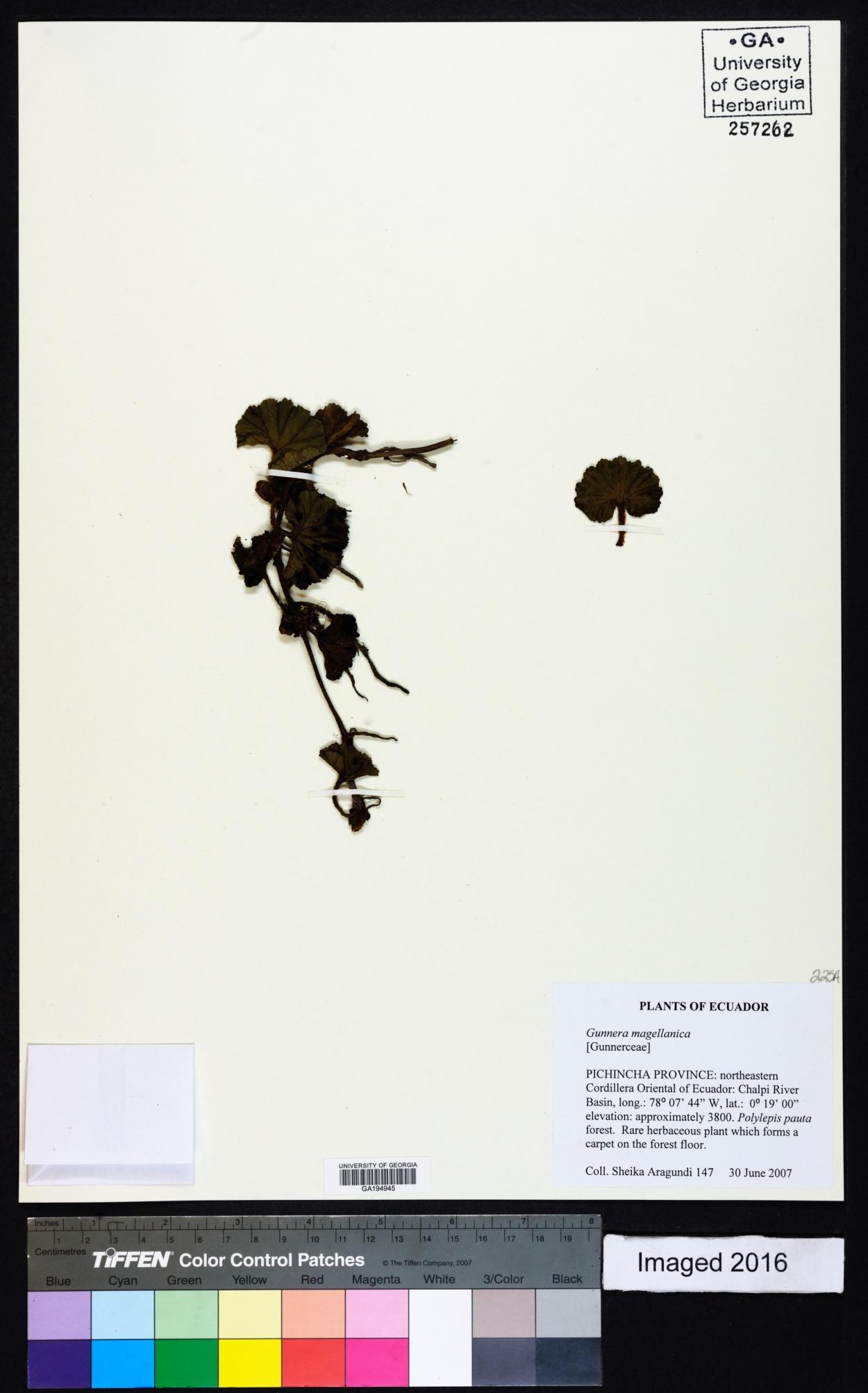 Gunneraceae image