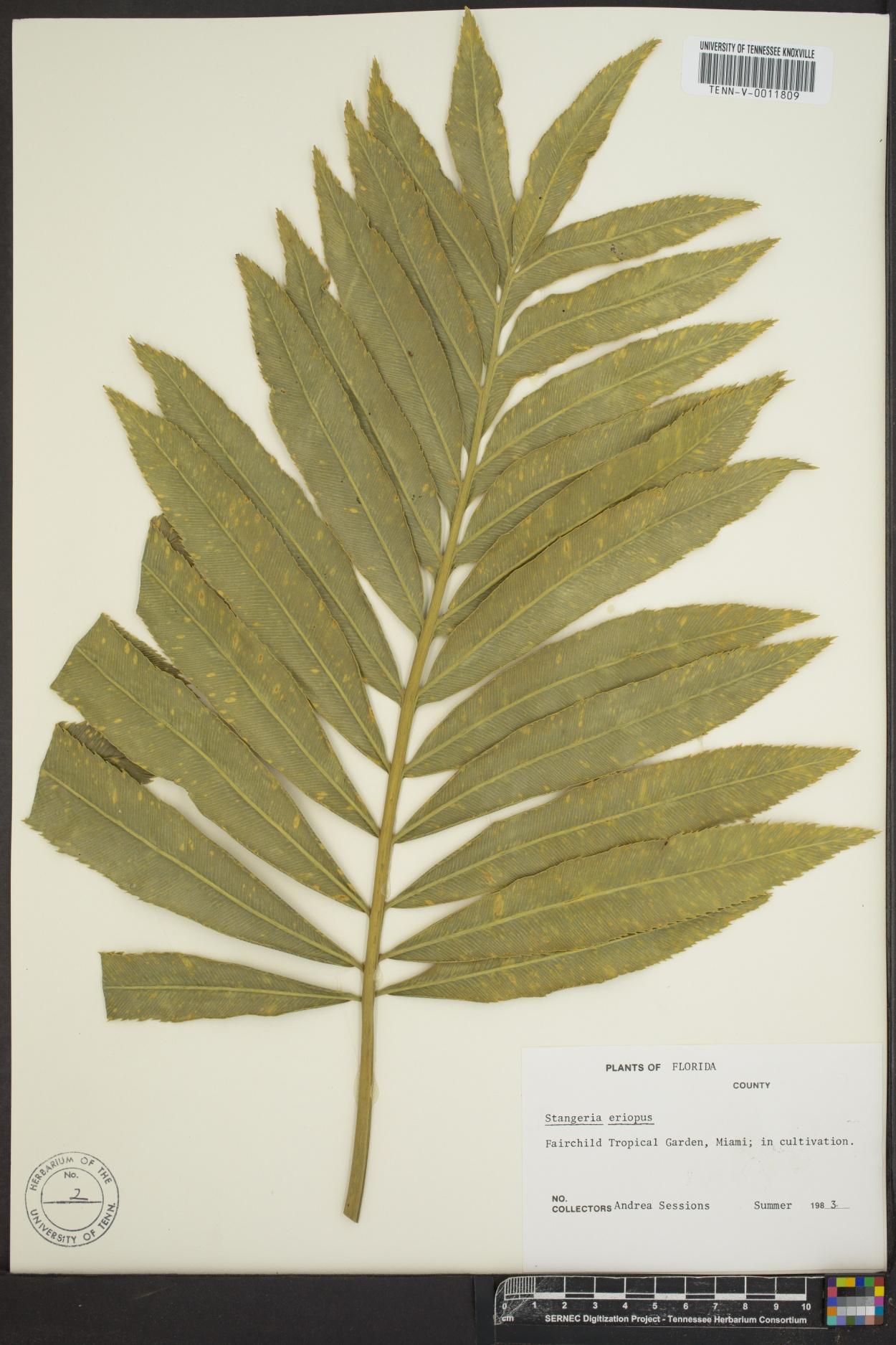 Stangeria eriopus image