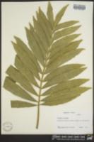 Image of Stangeria eriopus