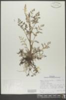 Image of Corydalis ophiocarpa