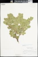 Arctostaphylos columbiana image