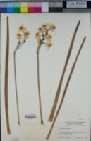 Narcissus tazetta image