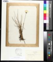 Image of Eriophorum vaginatum