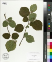 Image of Styrax youngiae