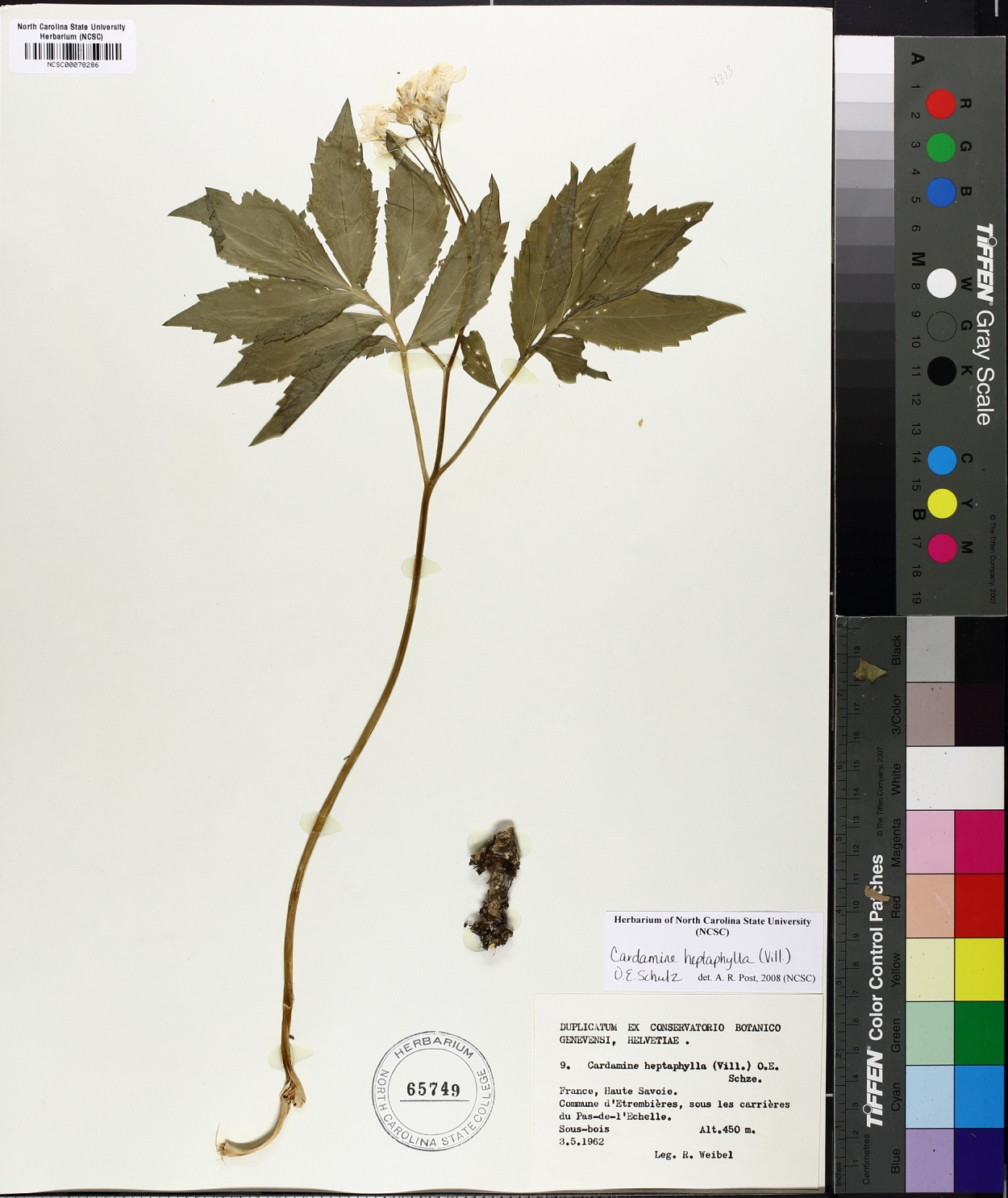Cardamine heptaphylla image