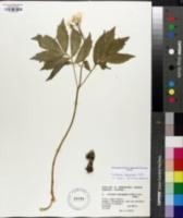 Image of Cardamine heptaphylla