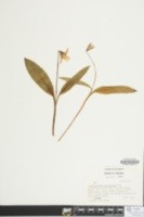 Erythronium umbilicatum image