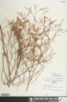 Image of Limonium carolinianum