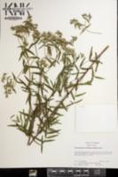Pycnanthemum verticillatum image