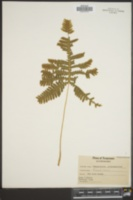 Image of Phegopteris polypodioides