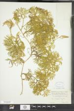 Diphasiastrum digitatum image