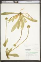 Hieracium caespitosum image