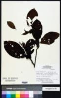 Image of Amaioua guianensis