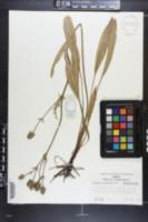 Eryngium serratum image