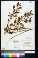 Solanum pseudogracile image