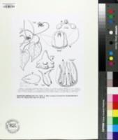 Image of Cynanchum adalinae