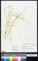 Image of Limnodea arkansana