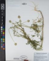 Gilia capitata subsp. pedemontana image